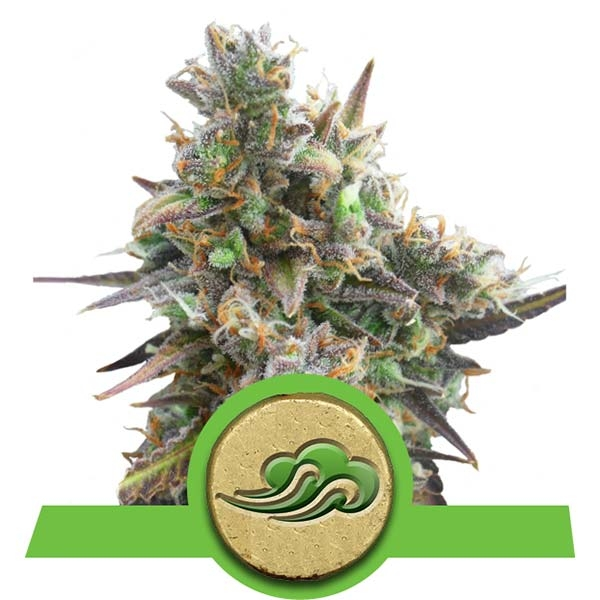 Royal Bluematic Autofiorenti Specie Cannabis