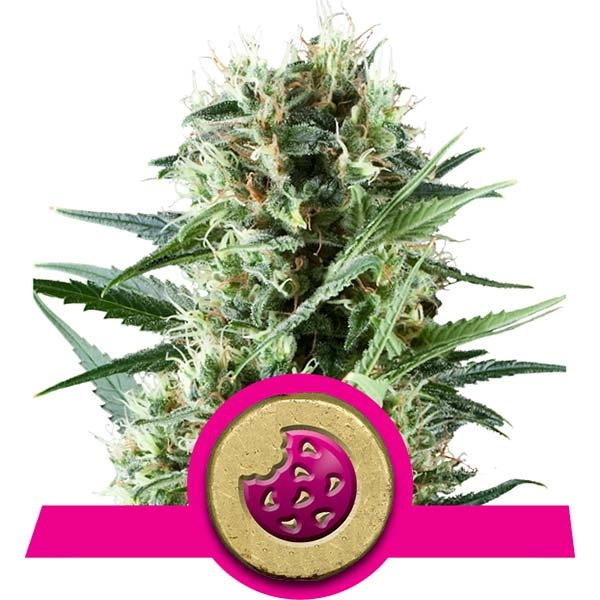 Royal Cookies Royal Queen Seeds