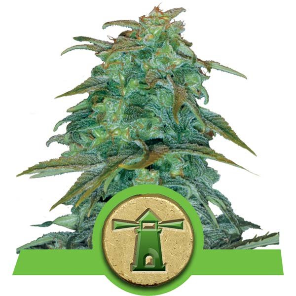Royal Haze Auto Royal Queen Seeds Autofiorenti Specie Cannabis