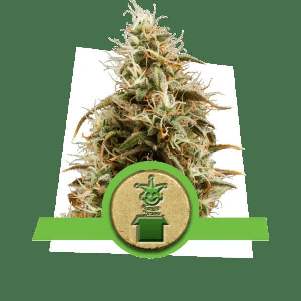 Jack Herer auto-fioritura Sativa varietà piccante