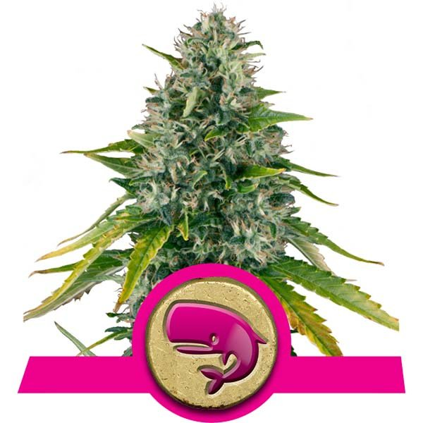 Royal Moby Royal Queen Seeds