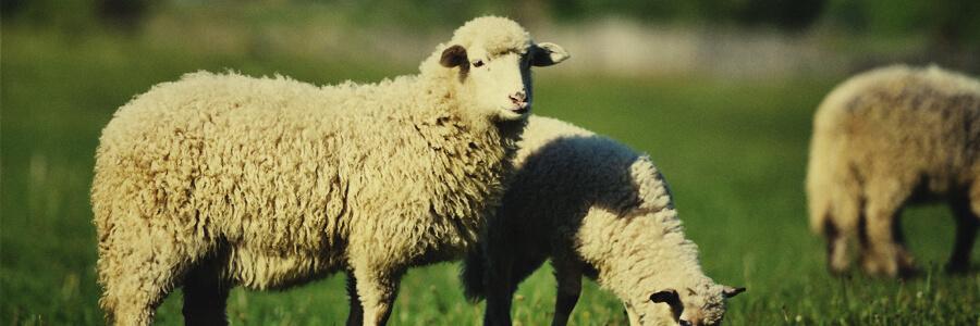 Compost organico di ovini