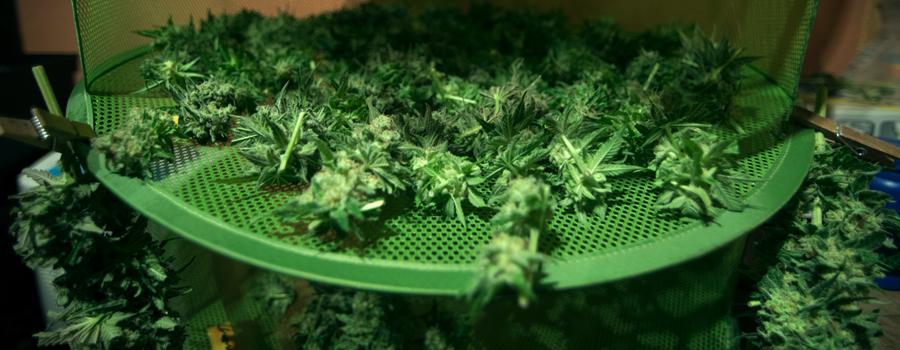 Cannabisknospe