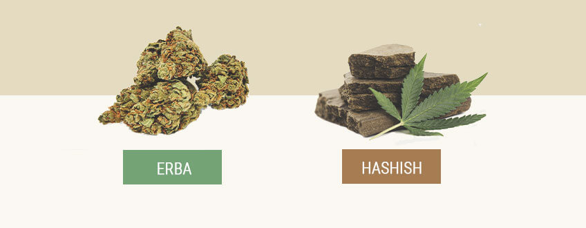 Erba vs Hashish