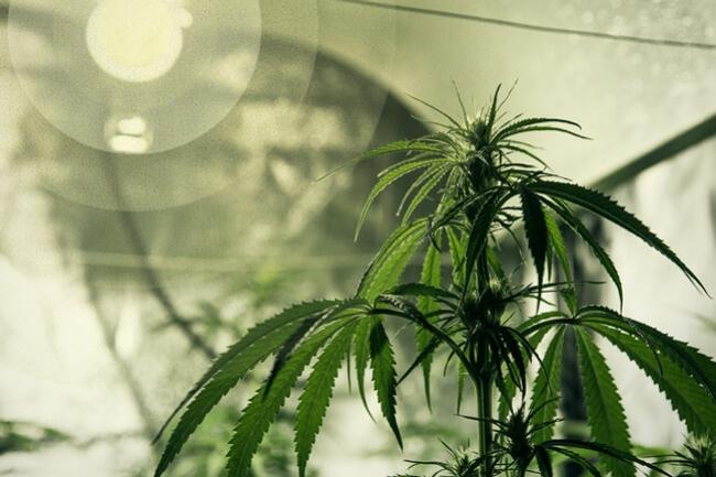 Il migliore sistema dilluminazione per la coltivazione di cannabis