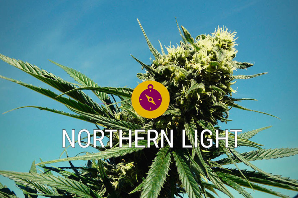Northern Lights: Cannabis Classica E Autentica Indica Da Leggenda