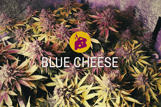 Semi di cannabis femminizzati Blue Cheese