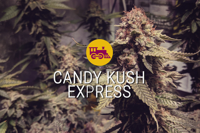 Semi di cannabis femminizzati Candy Kush Express