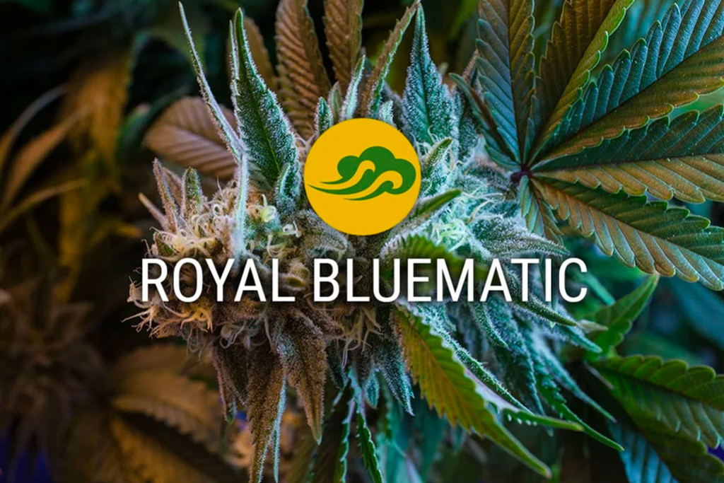 I semi di cannabis autofiorente Royal Bluematic