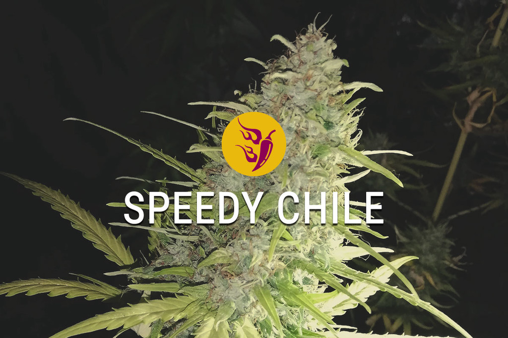 I semi di marijuana femminizzati Speedy Chile