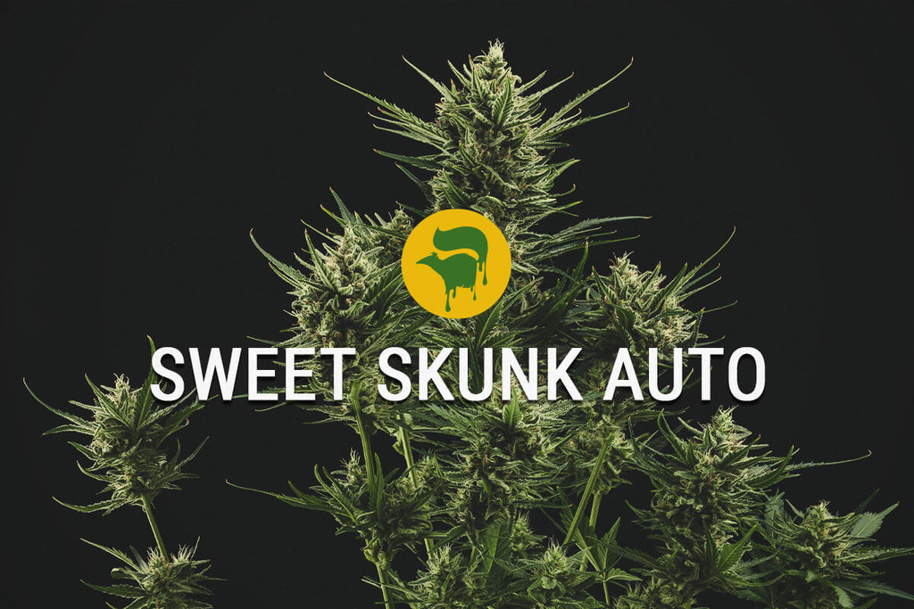 I semi di cannabis Sweet Skunk Automatic