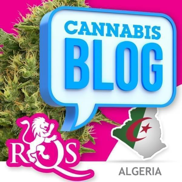 La cannabis in Algeria