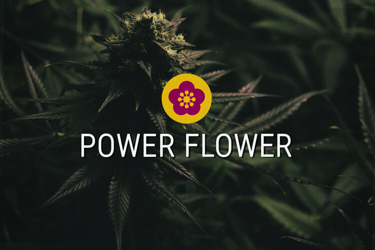 Power Flower Semi di cannabis Femminizzati