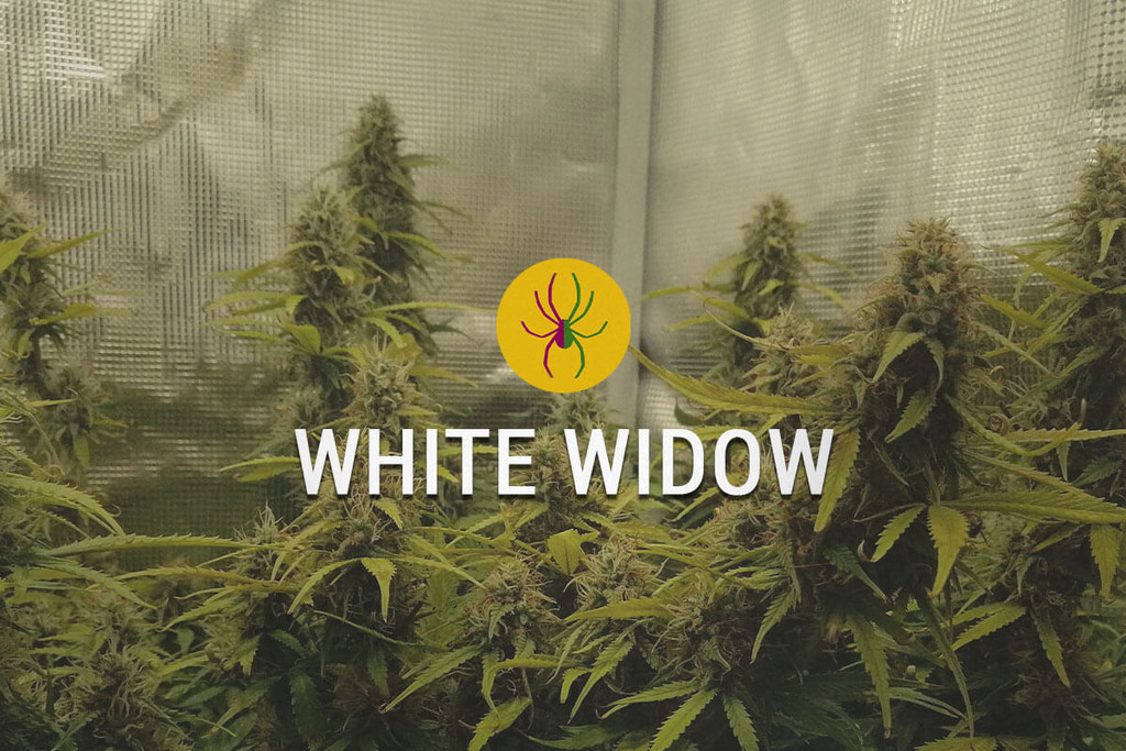 White Widow Semi di Cannabis Femminizzati
