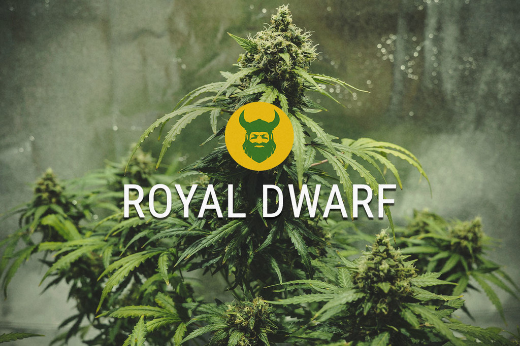 Royal Dwarf: Piccola ma Potente