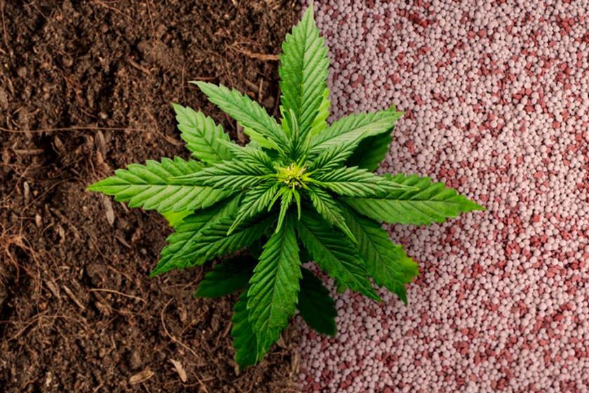 Fertilizzanti Per Cannabis Organici Vs Sintetici