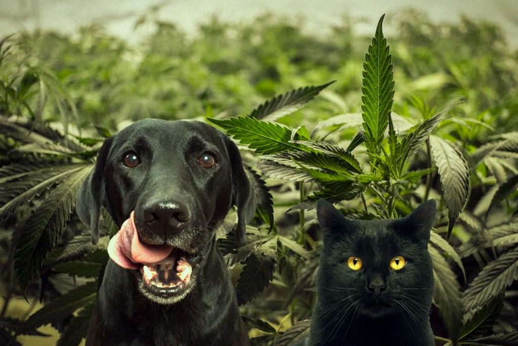 Cani Gatti E Cannabis Rqs Blog