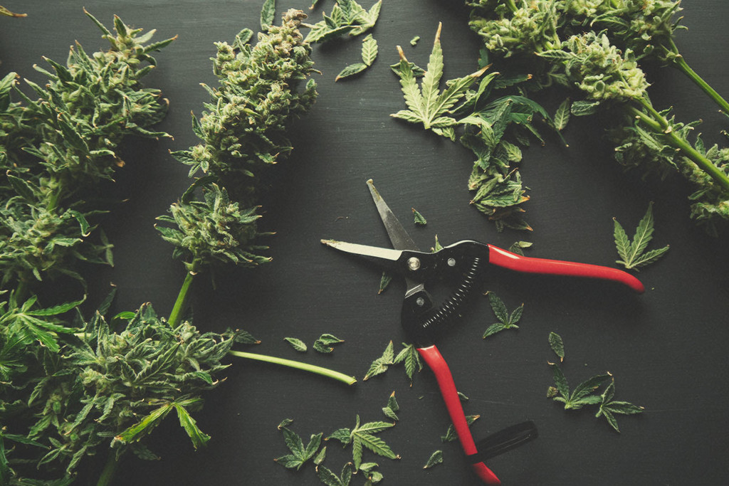 "Potare Le Tue Cime Di Cannabis: Trimming A ""Umido"" Vs A ""Secco"""
