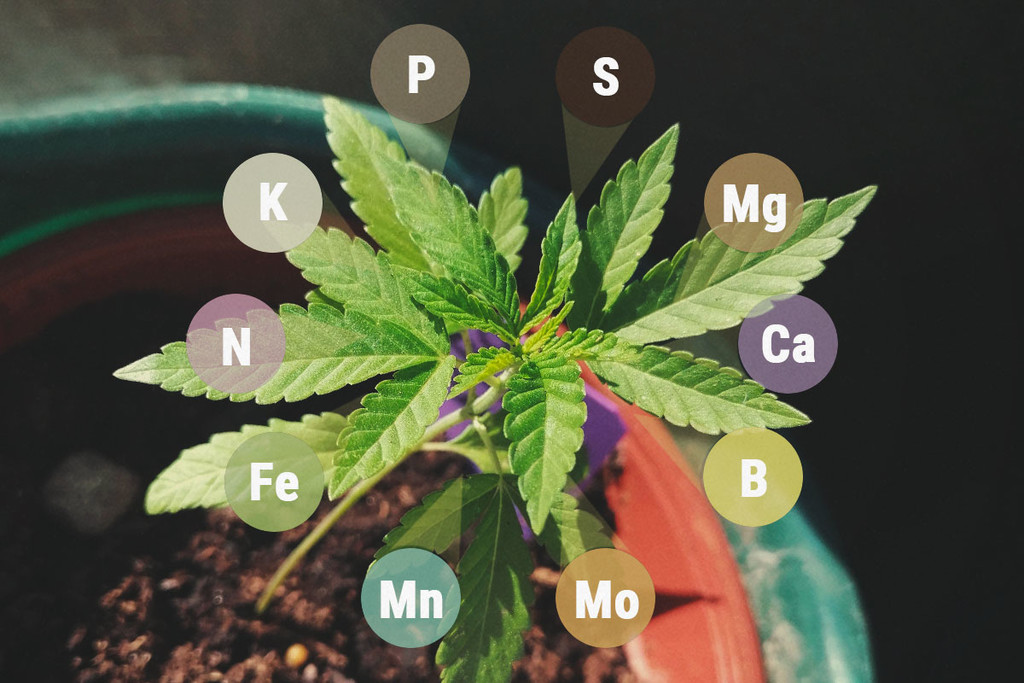Macro & Micronutrienti nella Cannabis - le Differenze