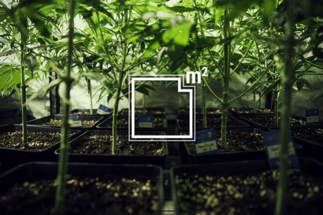 Quante piante di cannabis si possono coltivare in un metro