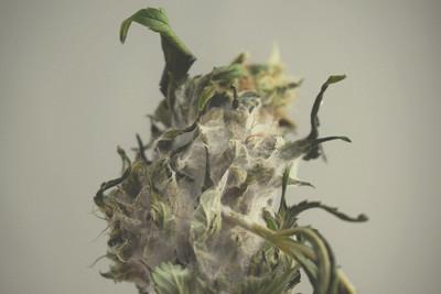 Cannabis E Muffa Una Guida Generale Per La Sua Identificazione