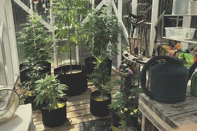 Considerazioni sull illuminazione per coltivare cannabis in una