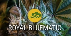 Royal Bluematic
